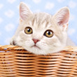 Scottish Straight kitten sitting in basket — Foto Stock