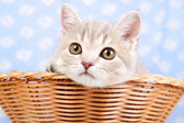 Scottish Straight kitten sitting in basket — Stock Photo