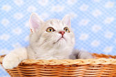 Scottish Straight kitten in a basket — Stock Photo