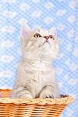 шотландский котенок — Стоковое фото