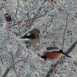 Bullfinch — Stock Video #15868889