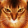Abyssinian cat closeup — Stock Photo