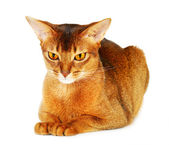 Abyssinian cat isolated on white background — Stock Photo