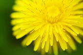 Yellow dandelion close-up — Stock Photo