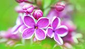 Beautiful lilac flowers — Stock Photo