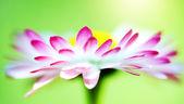 Bellis flower — Stock Photo