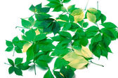 Scattered leaves on white background — Stock Photo