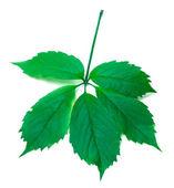 Green virginia creeper leaves — Stock Photo