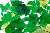 Scattered green leaves. Virginia creeper leaves. — Stock Photo