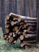 Stack of firewood in pine forest — Stock Photo