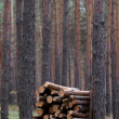 Stack of firewood in pine forest — Stok fotoğraf