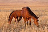 Two horses grazing in pasture — Stock Photo