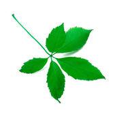 листья зеленые вирджиния рептилия — Стоковое фото