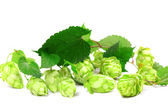 Blossoming hop with leaves — Stock Photo