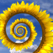 Sunflower spiral — Stock Photo