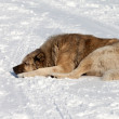 Dog sleeping on snow — Stock Photo