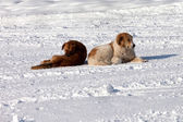 Two dogs on snow — Foto de Stock