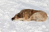 Dog sleeping on snow — Stock Photo