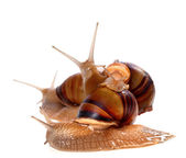 Family of snails on top of one another — Stock Photo