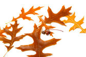 Autumn leafs of oak and acorns — Stock Photo