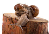 Snails on top of one another, on pine tree stump — Stock Photo