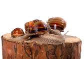 Familie van slakken op pijnboom stomp — Stockfoto