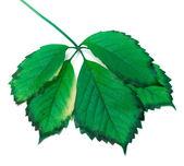 Green leaf on white background — Stock Photo