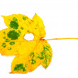 Autumn leaf with hole on white background — Stock Photo