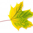 Stock Photo: Yellowed autumn maple leaf
