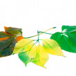 Three leafs of different seasons isolated on white background — Stock Photo