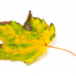 Stock Photo: Autumn yellowed leaf on white background