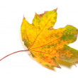 Stock Photo: Dry yellowed autumn maple-leaf