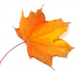 Stock Photo: Autumn yellowed maple-leaf