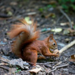 Red squirrel with walnut in autumn forest — Stock Photo