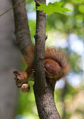Red squirrel on tree with walnut in mouth, looking down — Stock Photo