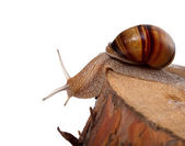 Snail crawling on pine-tree stump — Foto Stock