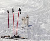 Dog and skiing equipment on ski slope at nice day — Stock Photo