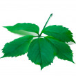 Green leave (Virginia creeper leaf) — Stock Photo