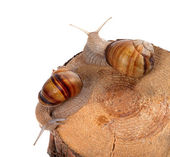 Two snails on top of pine-tree stump — Stock Photo