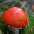 Amanita muscaria mushroom in grass — Stock Photo