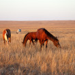 Horses grazing in pasture — Stock Photo