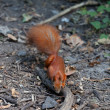 Stock Photo: Red squirrel in autumn forest