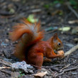 Red squirrel eat walnut in autumn forest — Stock Photo