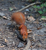 Red squirrel in autumn forest — Stock Photo