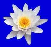 Victoria amazonica, water lilie — Stock Photo