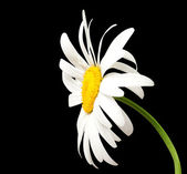 White chamomile on black background — Foto de Stock