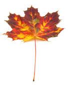 Multicolor autumn maple-leaf — Stock Photo