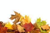 Autumn maple-leaf background — Stock Photo