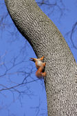 Red squirrels on tree in forest — Stock Photo