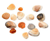 Seashells isolated on white  — Stock Photo
